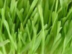 Barley Grass